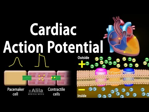 cardiac-action-potential,-animation.