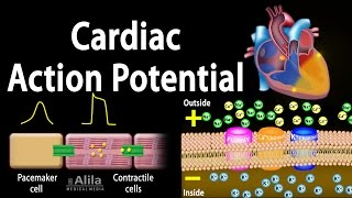 Cardiac Action Potential, Animation.
