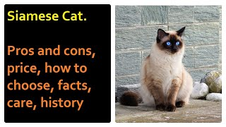 Siamese Cat. Pros and Cons, Price, How to choose, Facts, Care, History