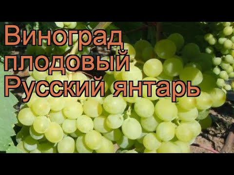 Виноград плодовый Русский янтарь (vitis) 🌿 обзор: как сажать, рассада винограда Русский янтарь