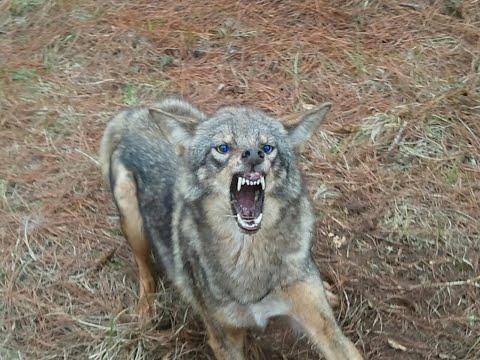 Barking Coyotes