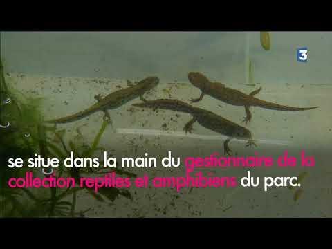 Série sur les animaux du Parc Zoologique de Paris : les tritons à l'honneur