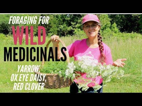Mid-Spring Foraging For Medicinals!!! WILD Yarrow, Ox Eye Daisy, And Red Clover