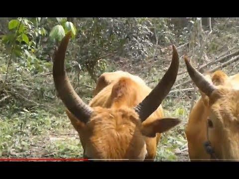 ncig saib maum nyuj zoo kub thumbnail