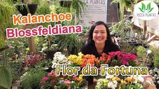Conheça A Flor Da Fortuna