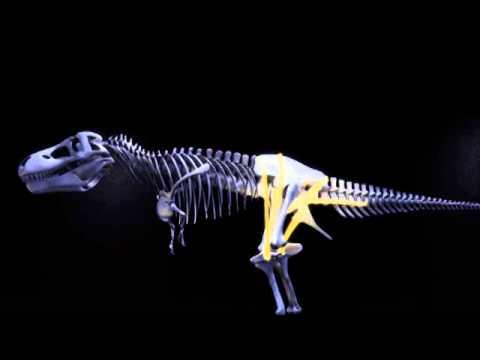 Tyrannosaurus Rex Posture