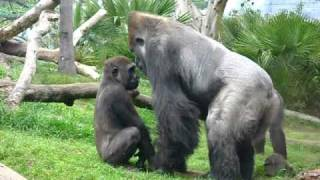 Little gorilla face-off with big gorilla.AVI