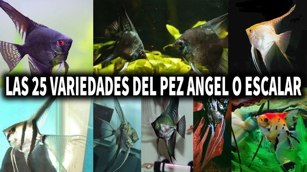 Las 25 variedades del pez angel o pez escalar acuarioslp for Pez escalar enfermedades