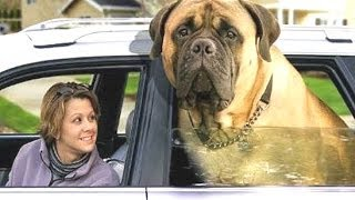 Top 10 Biggest Dogs In The World - With Funny Dog Videos By Breeds Compilation