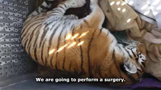 People try to safe from death tiger female wounded in Khabarovsky Province