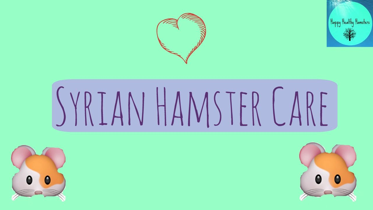 Syrian Hamster Care | Happy Healthy Hamsters