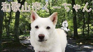 紀州犬の性格は忍耐強く穏やかで強い忠誠心&人懐っこいそうです。 時々...
