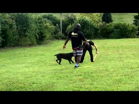 11 Month Cane Corso Advanced protection ' Estate Guardian'
