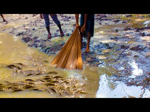 Traditional Fishing In The Village Pond With Nets | Net Fishing | Wild Fish Hunting