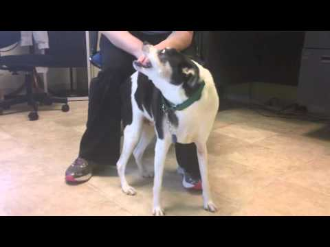 Taters, A Rat Terrier/Beagle Mix Available For Adoption At The Wisconsin Humane Society