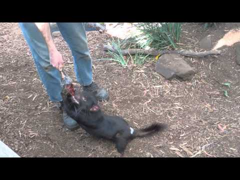 Tasmanian Devil Biting