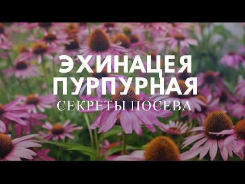 видео: Эхинацея пурпурная:секреты посева.