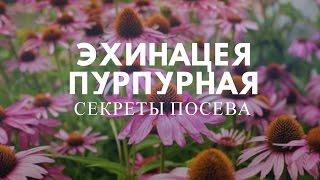 Эхинацея пурпурная:секреты посева.
