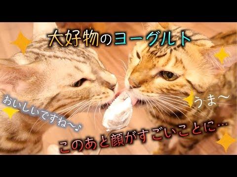ヨーグルトが好きすぎて顔がヨーグルトまみれになっちゃった猫たち