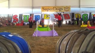 Video Annie the Scottie dog in her SuperDog debut: 1st relay race download MP3, 3GP, MP4, WEBM, AVI, FLV September 2017