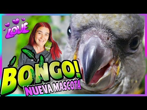 PRESENTACIÓN De BONGO! 🐦La Nueva Mascota LORO YOU YOU (Senegalés) Loro Senegal PAPILLERO