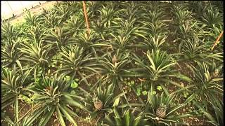 SIMPLY MING VODCAST 1011: The Azores - Pineapple Plantation
