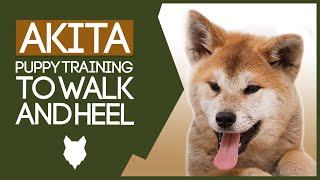 AKITA TRAINING! How to Train Your Akita to Walk To Heel!