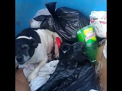 Cachorra ferida é jogada no lixo