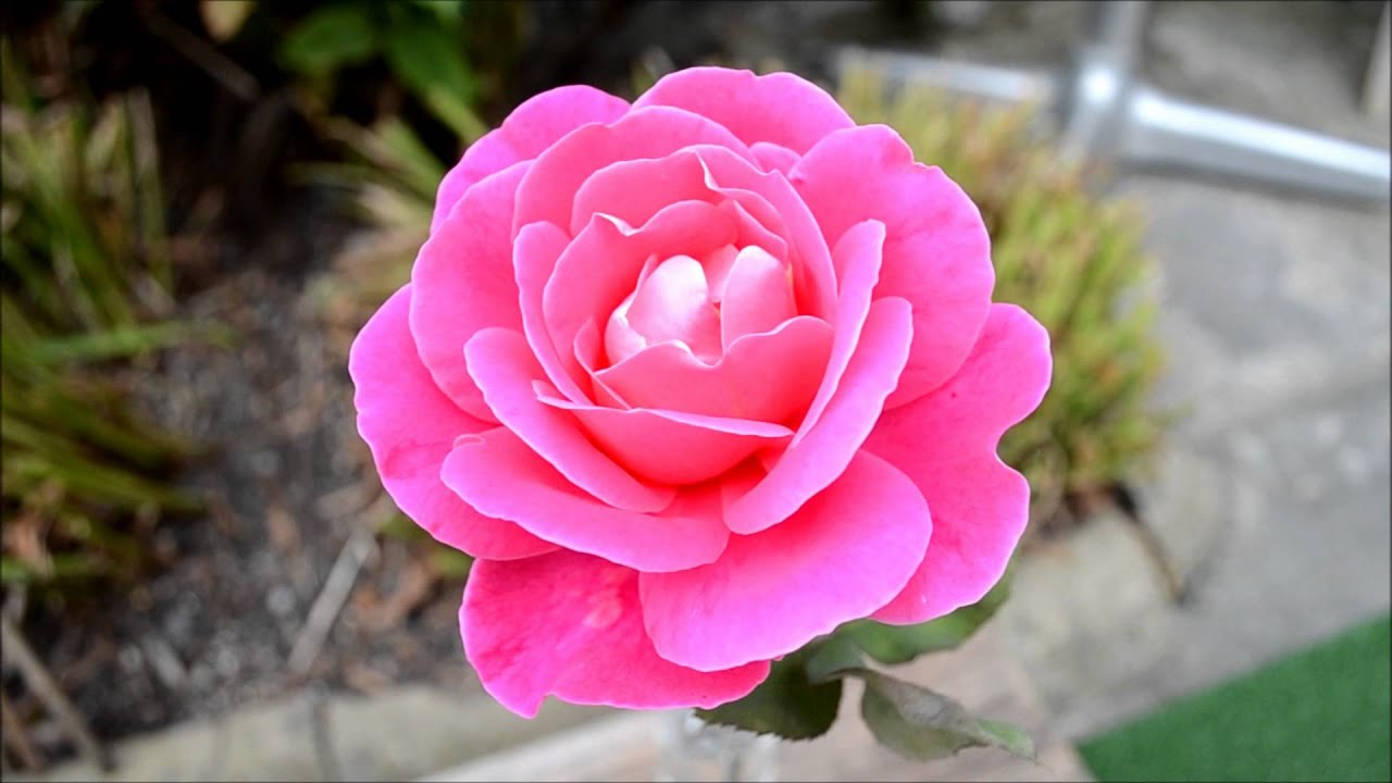 flowers in hd rose