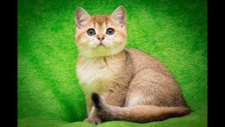 Кошка Beilis SunRay Часть 2 Британский котенок черного золотого затушеванного окраса BRI ny 11