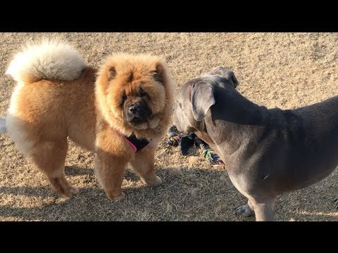 2 Chow Chows, a Squirrel & 7 Dogs