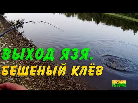 Здоровый язь на спиннинг. 3 рыбы за 10 минут