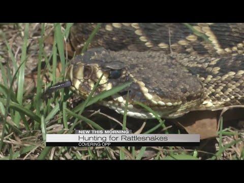 Hunting for Rattlesnakes