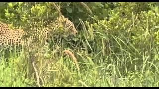 Lampart w afrykańskim buszu