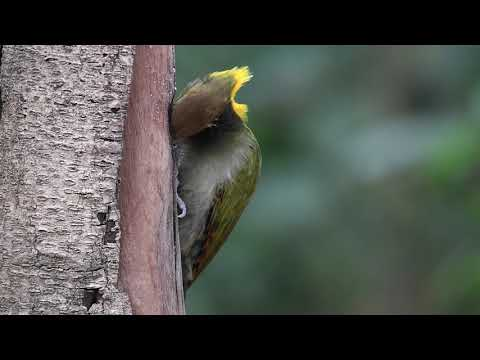 Greater Yellow Naped Woodpecker in Action