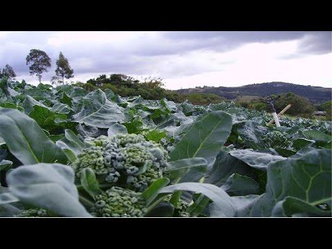 Curso Cultivo Orgânico de Brócolis, Couve-Flor e Repolho - Plantio do Repolho