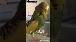 Выставочные попугаи чехи.