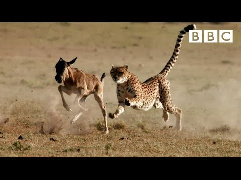 Cheetah Chases Wildebeest | The Hunt - BBC One