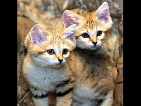القط البري الرملي في الجزيره العربيه Sand Cat Youtube