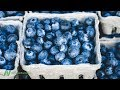 Benefits of Blueberries for Artery Function