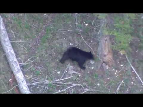 Bighorn Mountain Black Bear