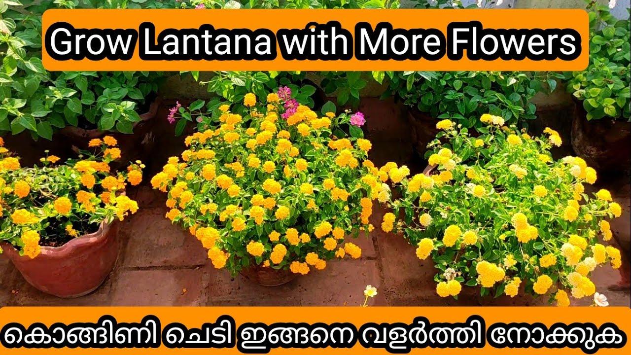 Download Lantana Complete care   Tips to Get More Flowering   കൊങ്ങിണി ചെടി വളർത്തുന്നതിൽ ഇത് അറിഞ്ഞിരിക്കുക
