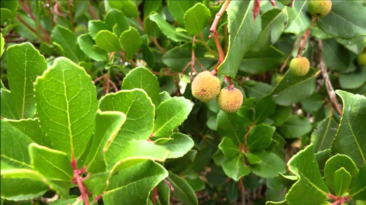 Un arbre l 39 arbousier youtube - Fruit de l arbousier ...