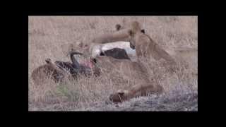 ケニアのマサイマラ国立保護区のサファリで出会った動物たち.