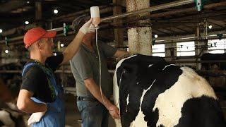 Лечение клинического кетоза у коров. Treatment of clinical ketosis in cows.