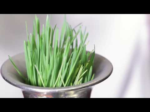 Wheatgrass Shots with the Hamilton Beach Wheatgrass Juicer!