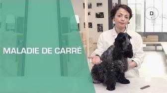 La maladie de carré chez le chien - Animaux