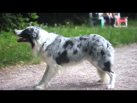Best Amazing Dog Tricks with Border Collie Fast Top