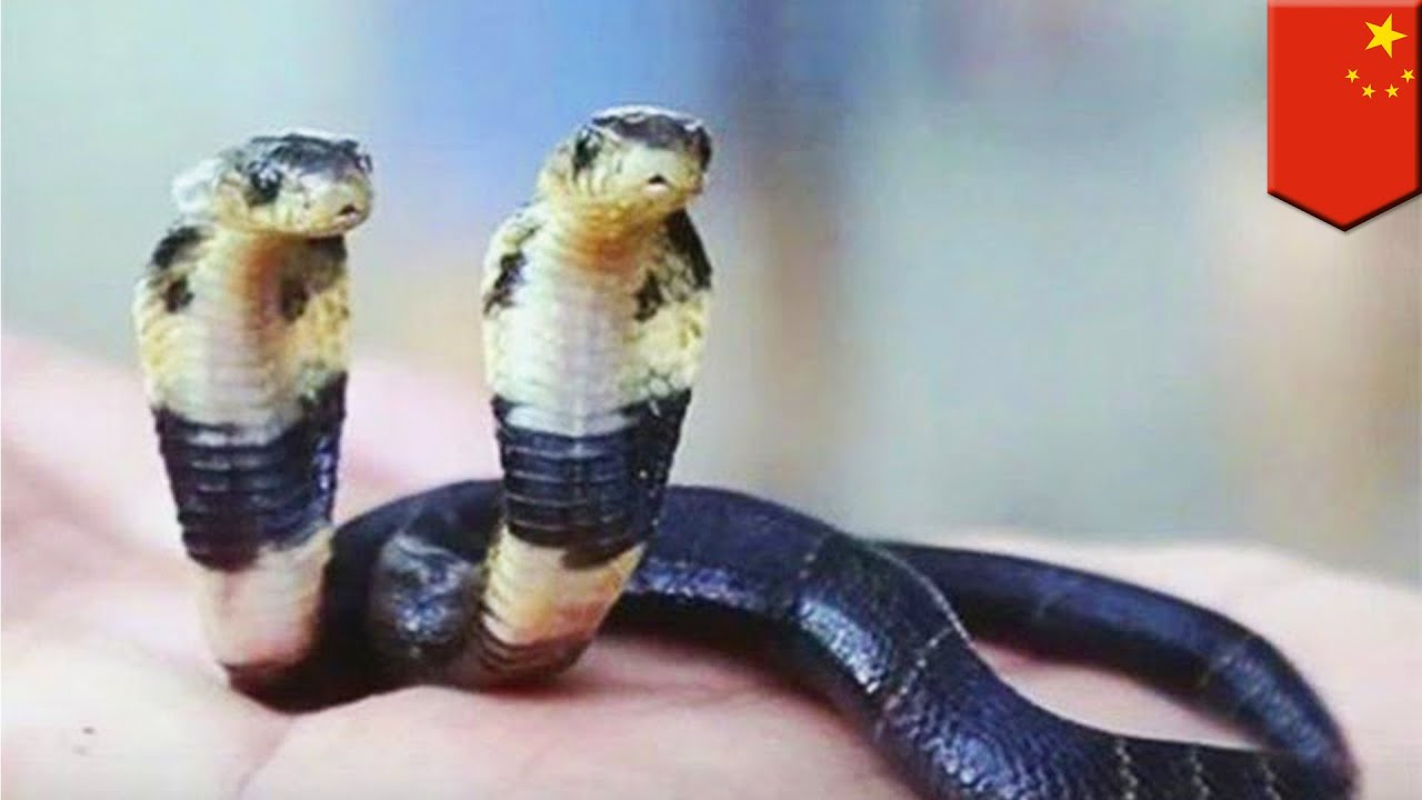 insolite un zoo adopte un cobra deux t tes en chine youtube. Black Bedroom Furniture Sets. Home Design Ideas