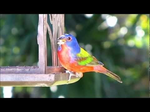 Male Painted Bunting